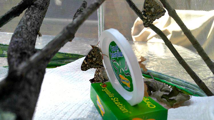 De orugas a mariposas, una experiencia educativa en casa